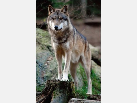 Wolf - Page 3 1698218316-wolf.9