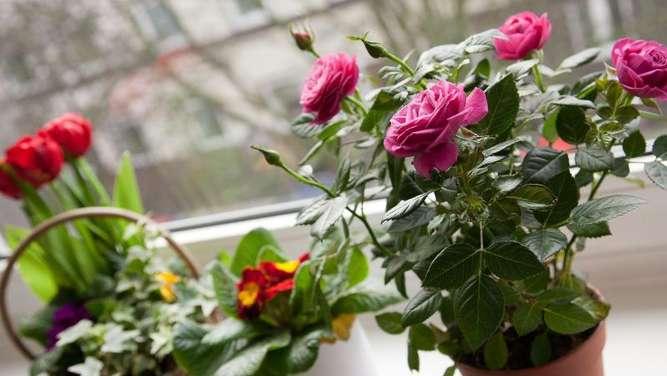 muttertagsgeschenk pflegen rosen im topf brauchen licht. Black Bedroom Furniture Sets. Home Design Ideas