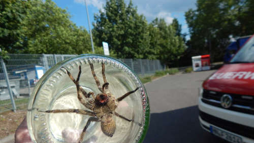Gift-Spinne in Discounter: