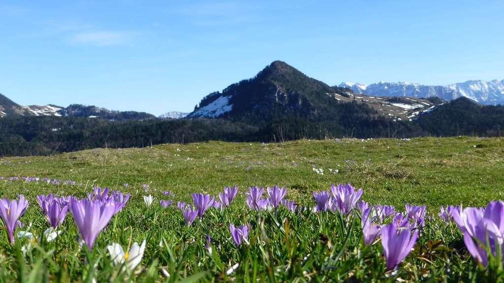 Landkreis: Naturschauspiel am Heuberg - Krokusblüte hat
