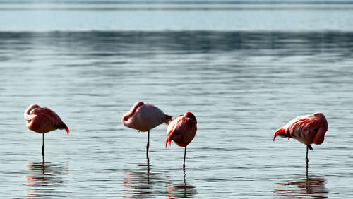 Flamingos am Chiemsee am 20. März