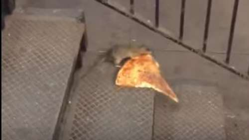 Die New Yorker Pizza-Ratte