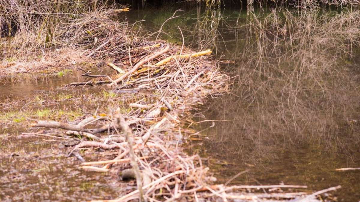 samerberg was ist mit dem biber in der samerberger filze passiert samerberg. Black Bedroom Furniture Sets. Home Design Ideas