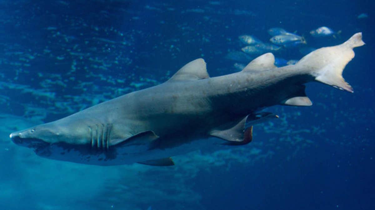 Marsa Alam Tourist Wird Beim Tauchen Von Hai Fisch Angegriffen Und