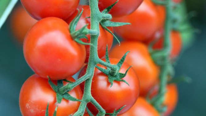 tomaten pikieren wann ist der beste zeitpunkt und worauf. Black Bedroom Furniture Sets. Home Design Ideas
