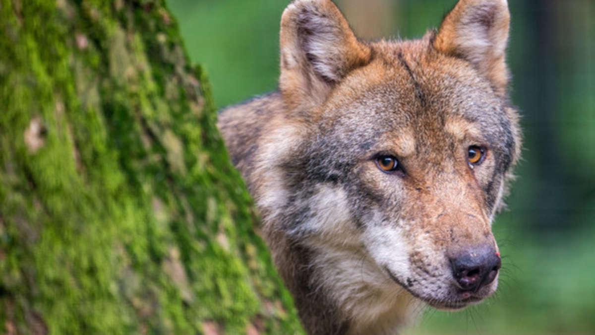 Wie viele Wölfe verträgt unsere Region?